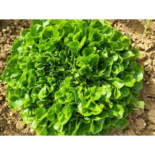 Salanova rot